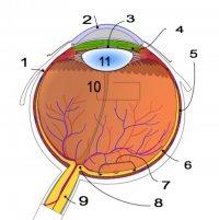 Anatómia ľudského oka