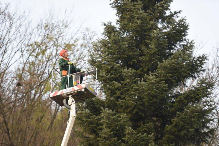 Ilustračný obrázok ku kvízu Vianočný stromček stojí na námestí v Trnave. Viete o ňom všetko?